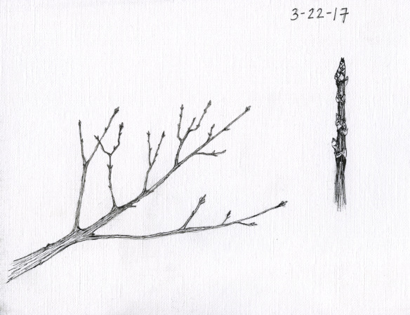 Sugar maple buds. Drawing by Ana Lucia Fernandez