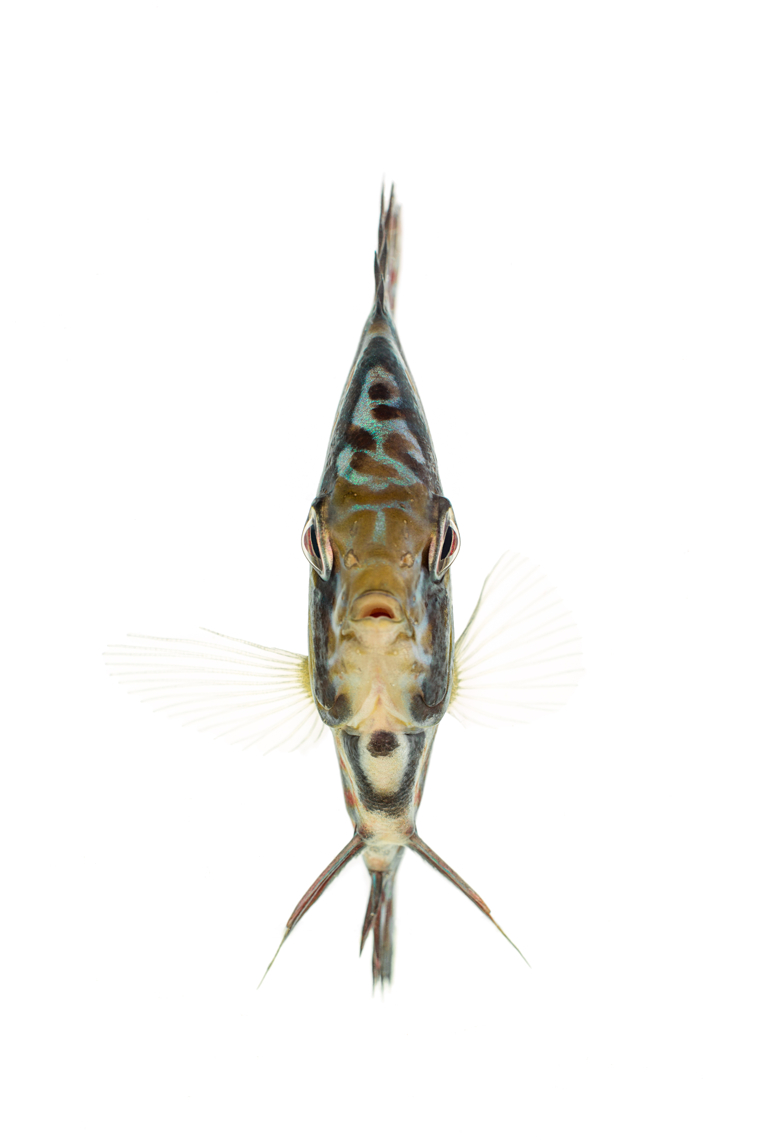 Snakeskin Discus (Symphysodon aequifasciatu)