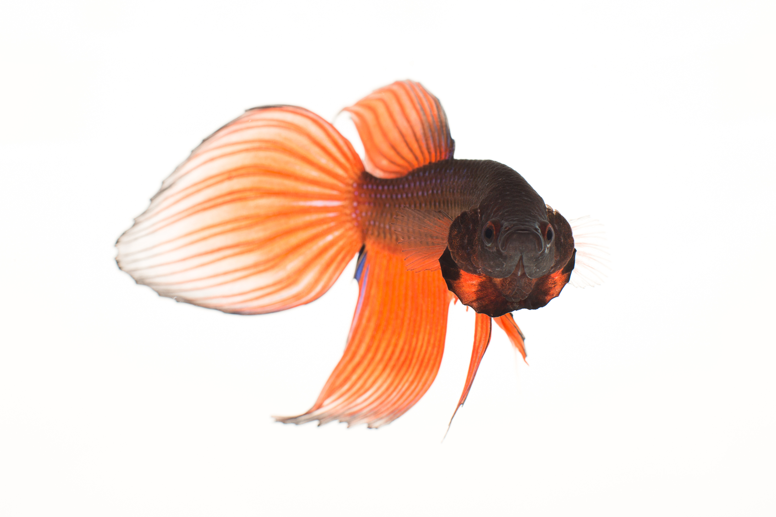 Spade Tailed Betta (male) - Siamese Fighting fish