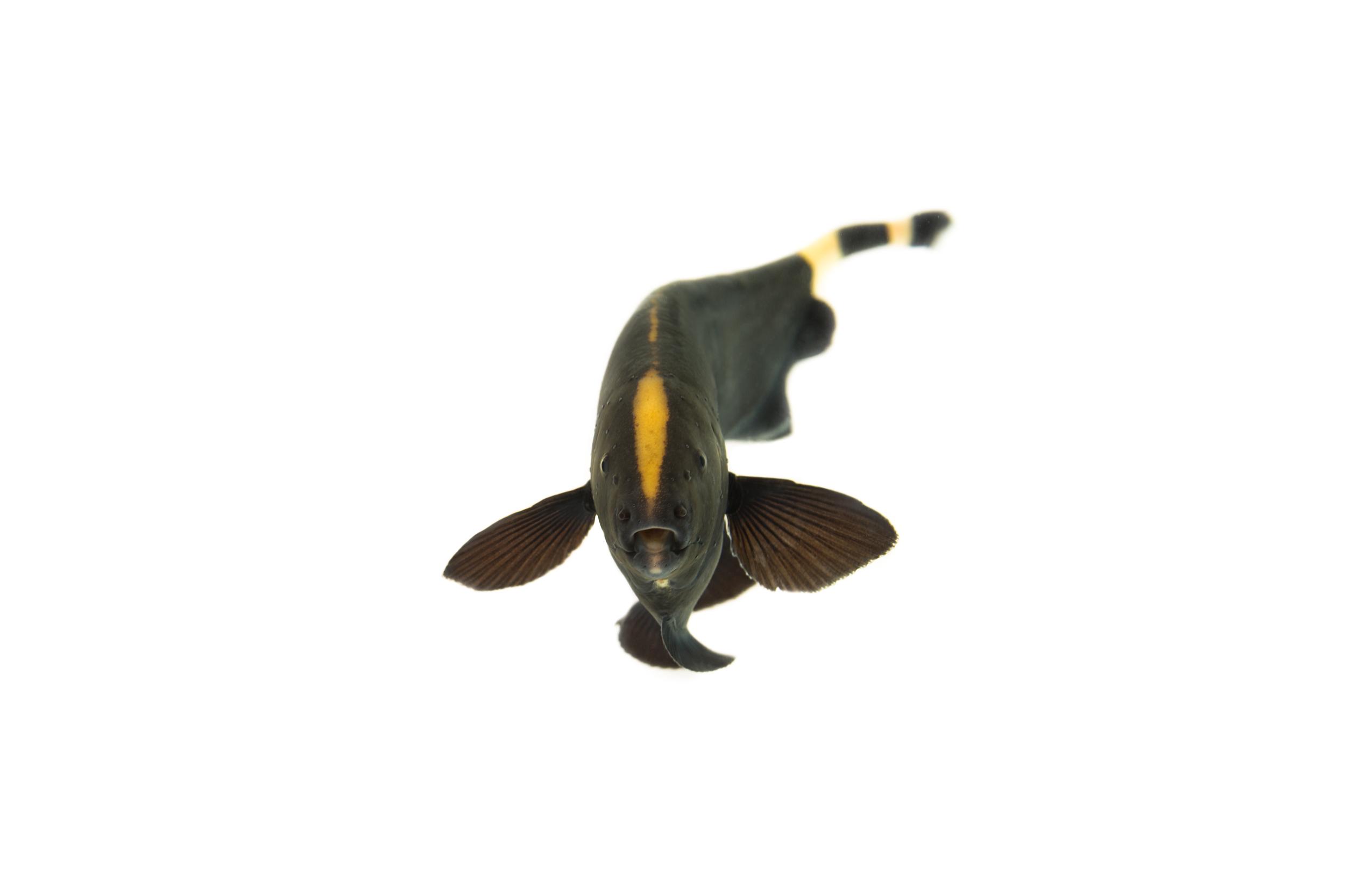 Black Ghost Knifefish (Apteronotus albifrons)