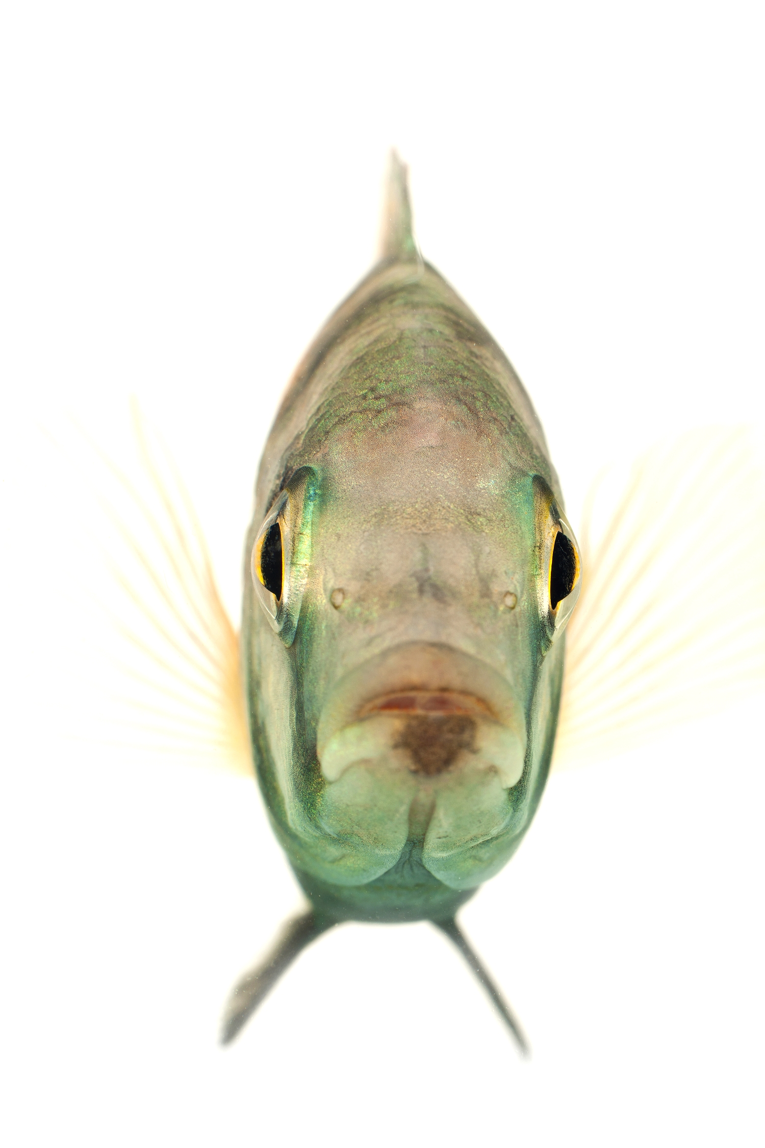 African Cichlid - Malawi Haplochromis