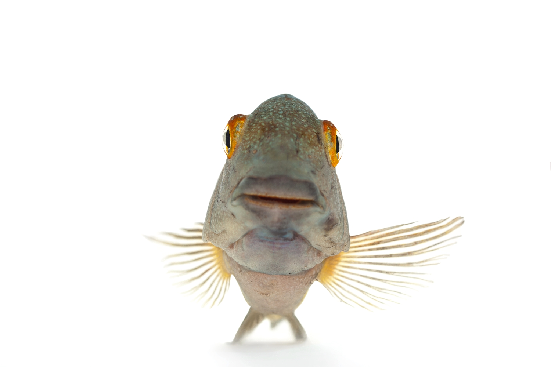 "African Cichlid - Tropheus Moorii ""Blunt-Head"""