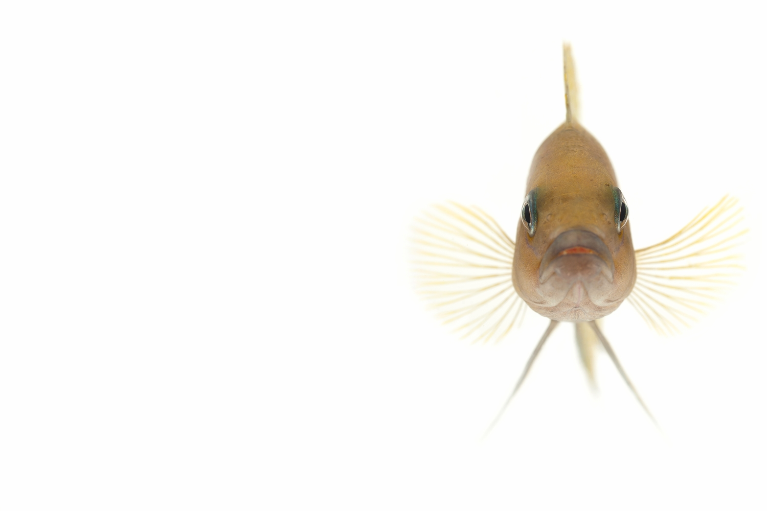 "African Cichlid -  ""Helianthus"" NeoLamprologus"