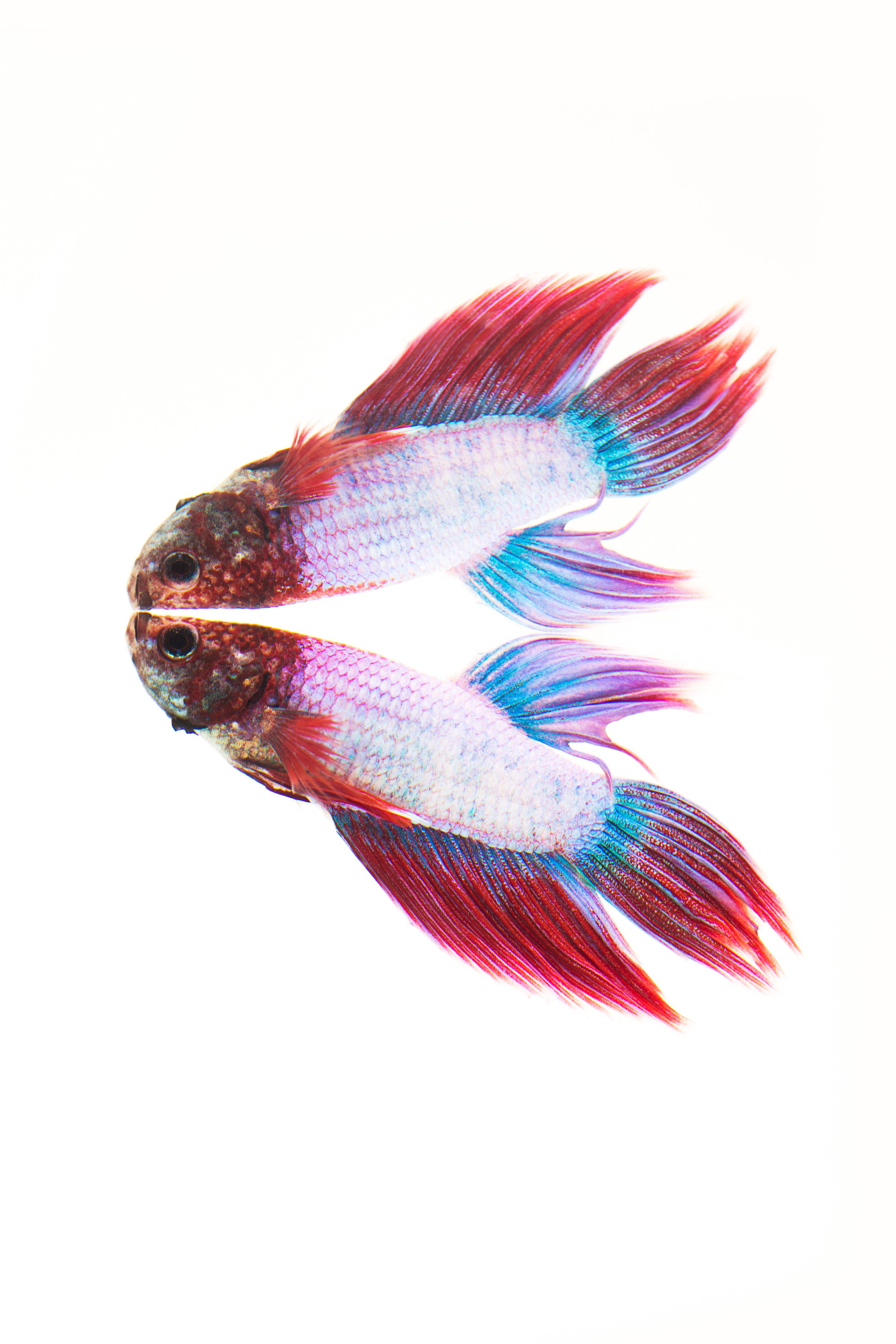 Plakat Betta (male) - Siamese Fighting Fish