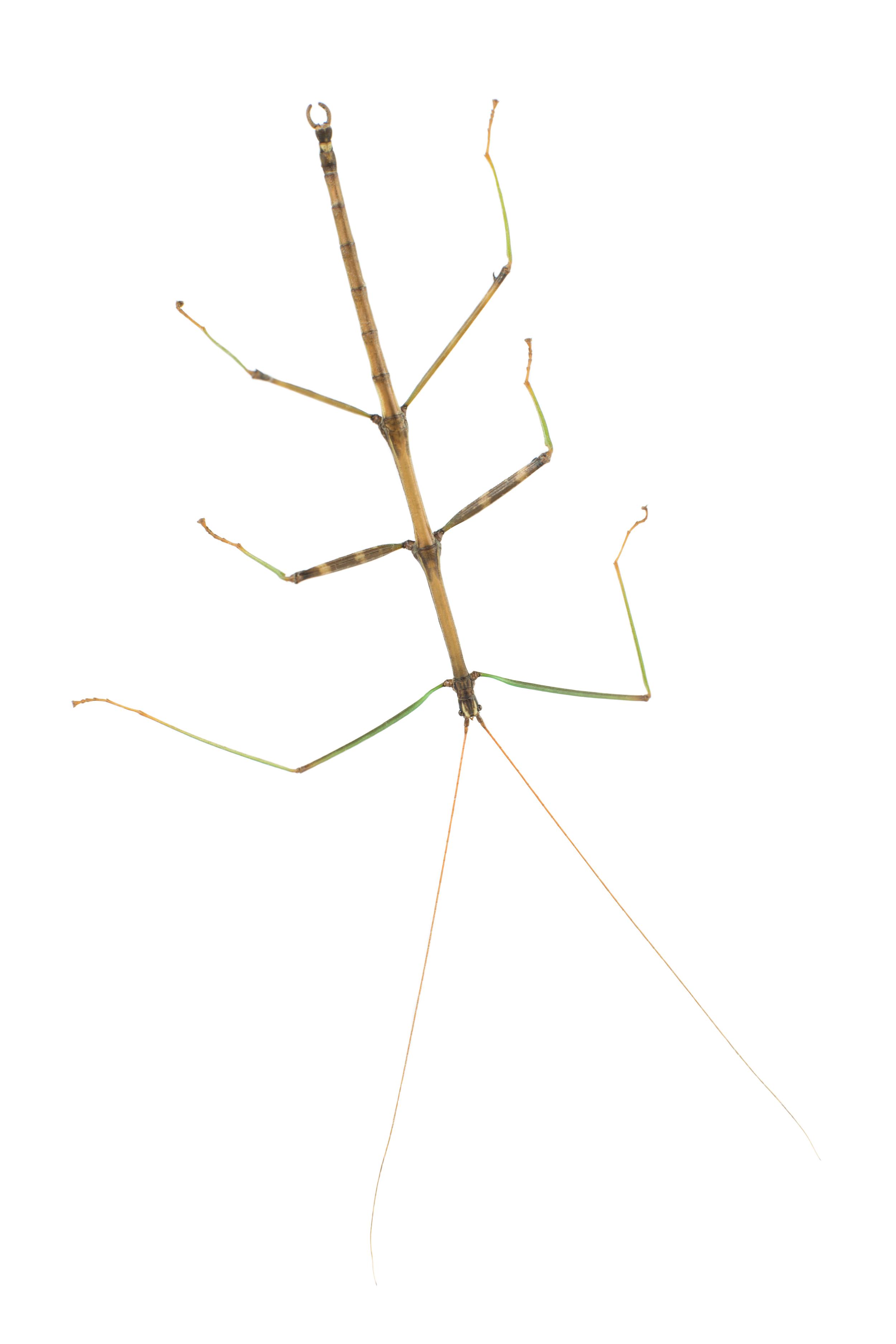 Diapheromera femorata- Common Walkingstick