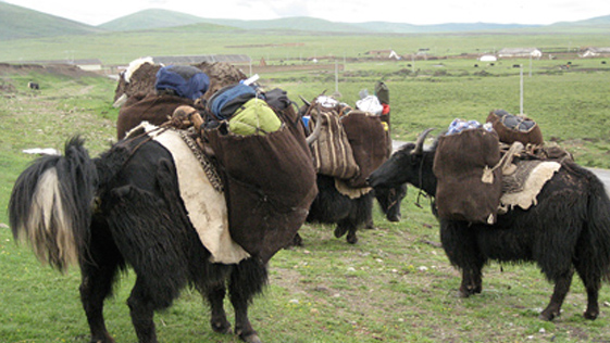 The yaks loaded with our gear for the move to the pasture