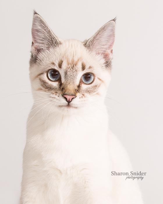 Comox kitten portrait