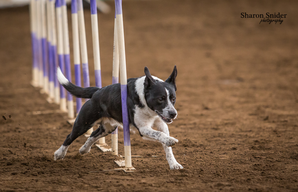courtenay dog agility-5522.jpg