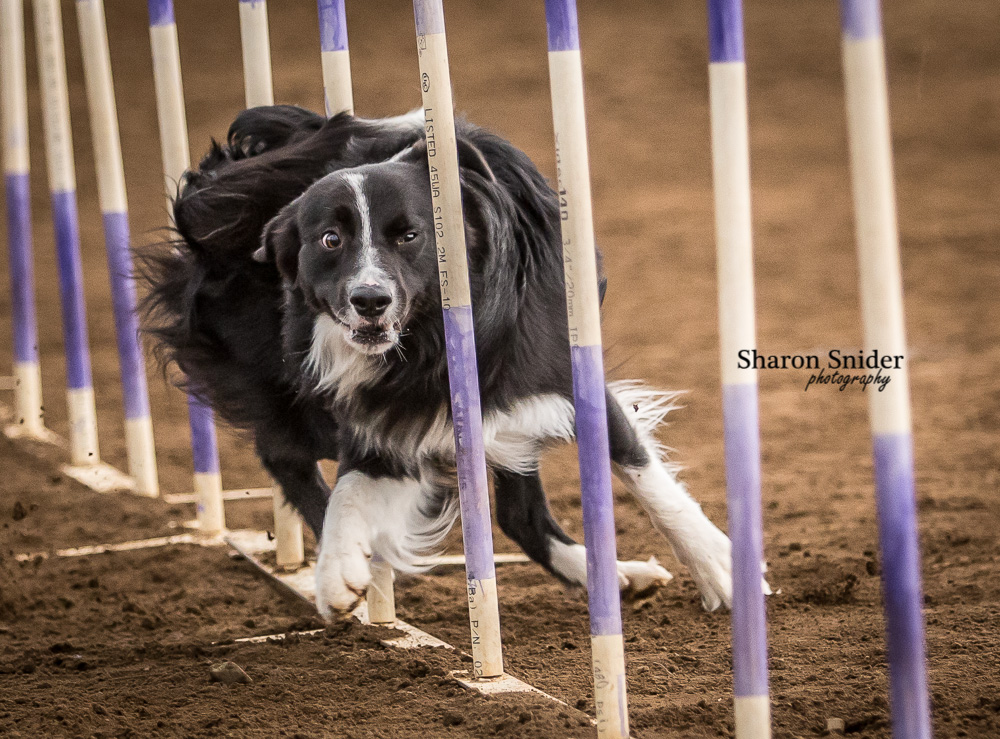courtenay dog agility-5574.jpg
