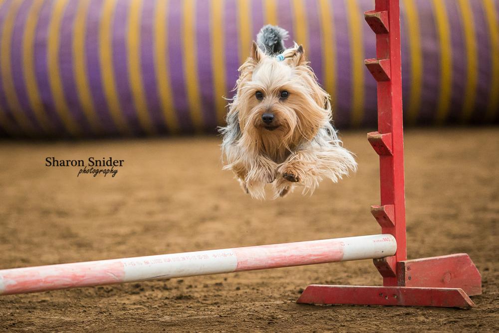 courtenay dog agility-5610.jpg