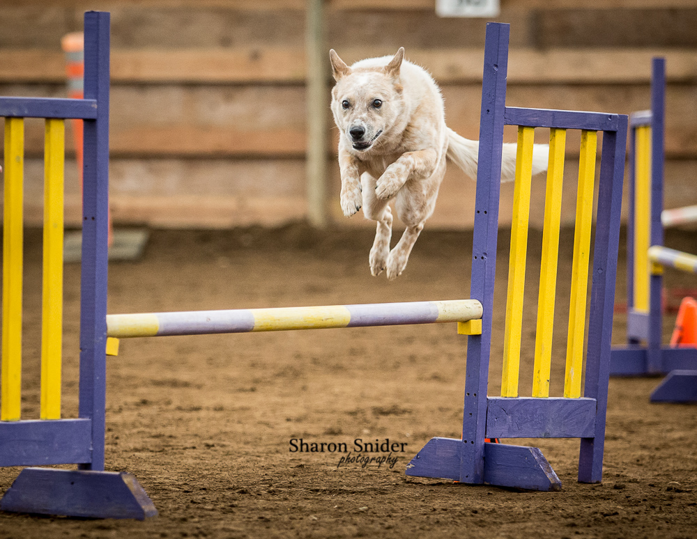courtenay dog agility-5658.jpg