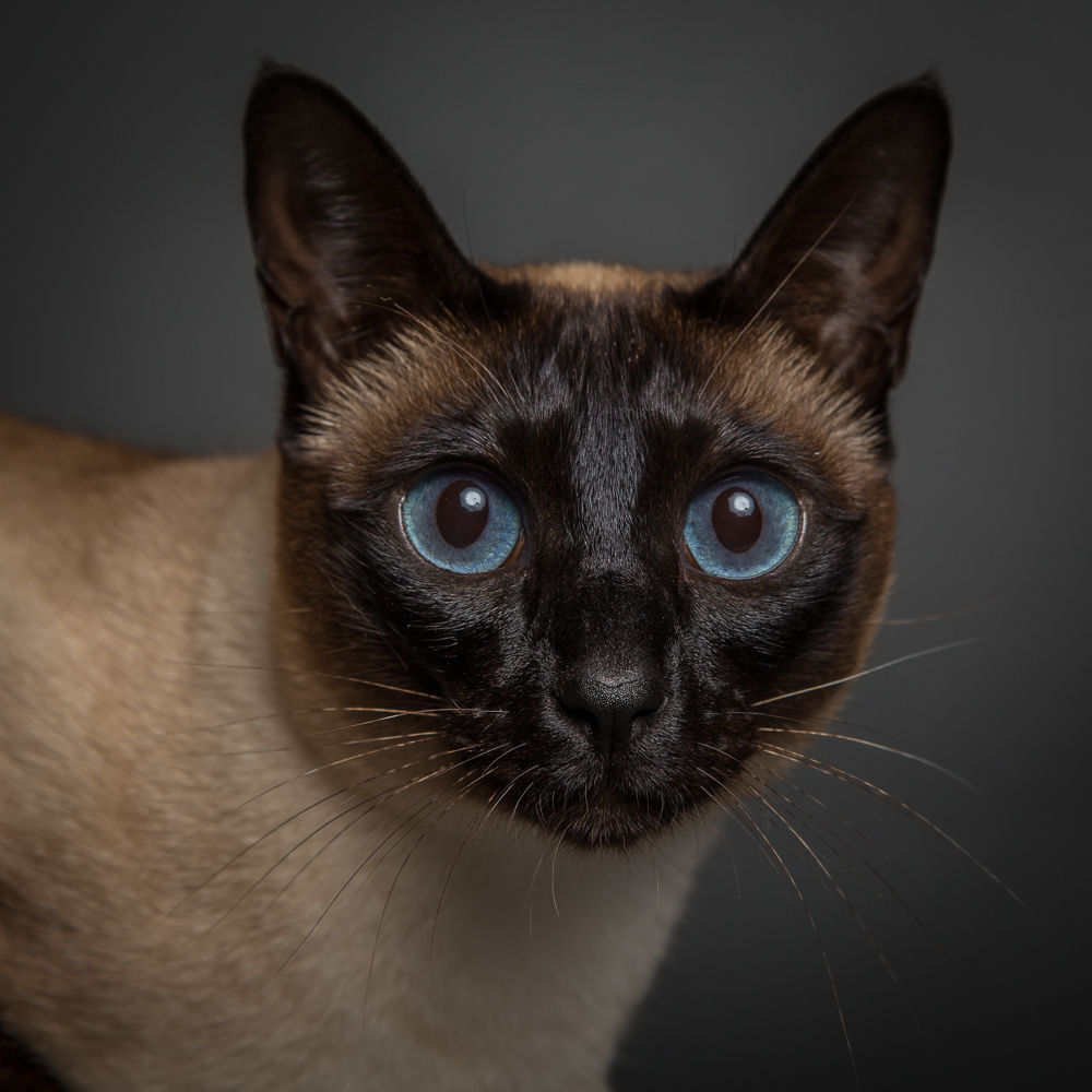 Siamese cat by Sharon Snider Photography