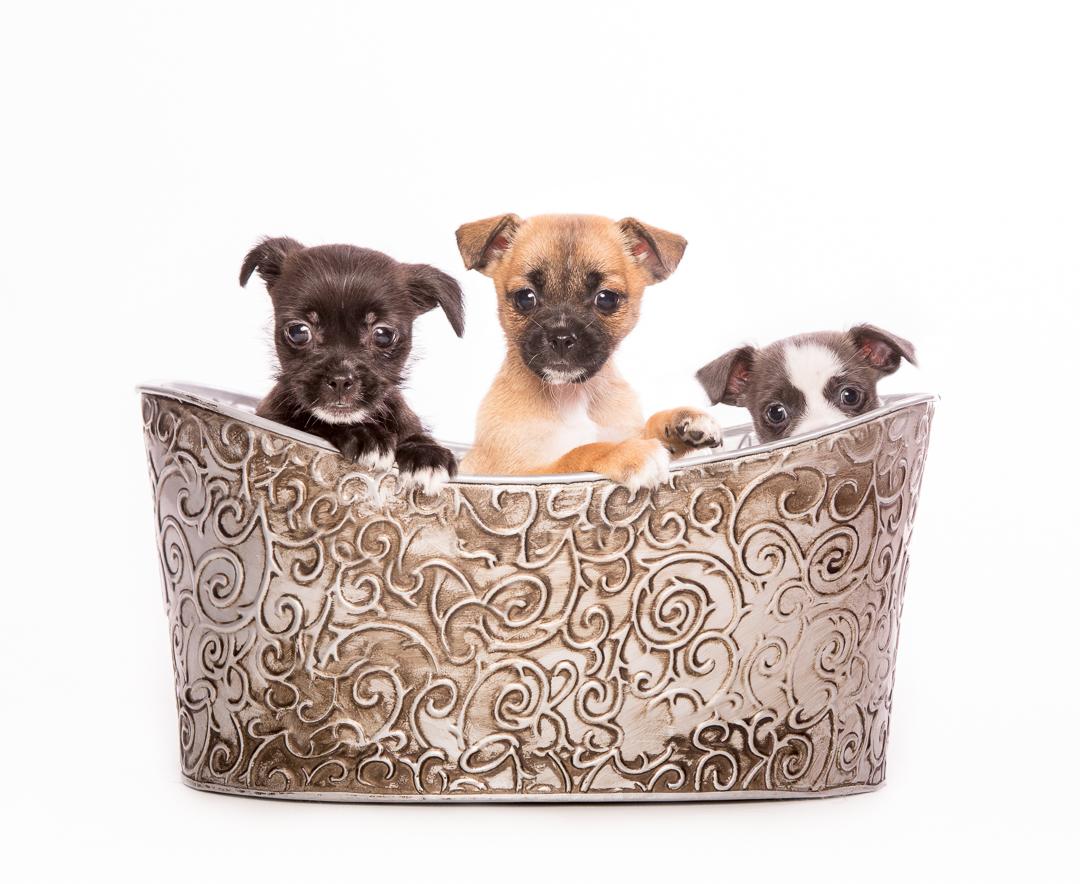 vancouver island puppies
