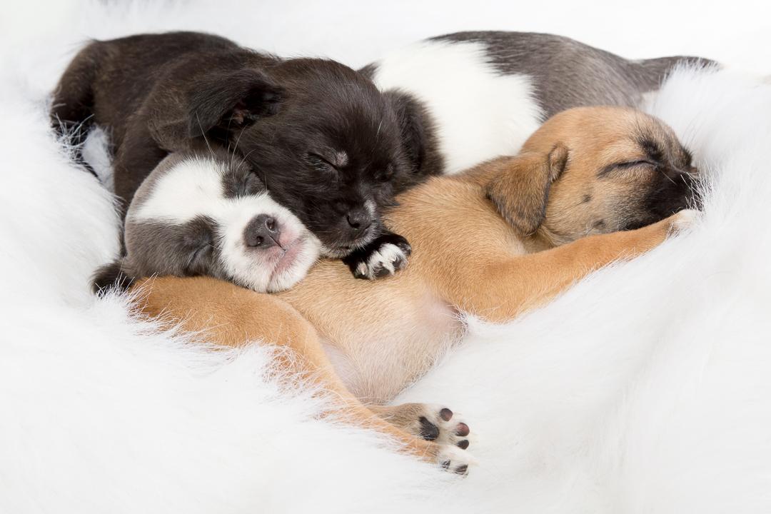 puppies courtenay BC