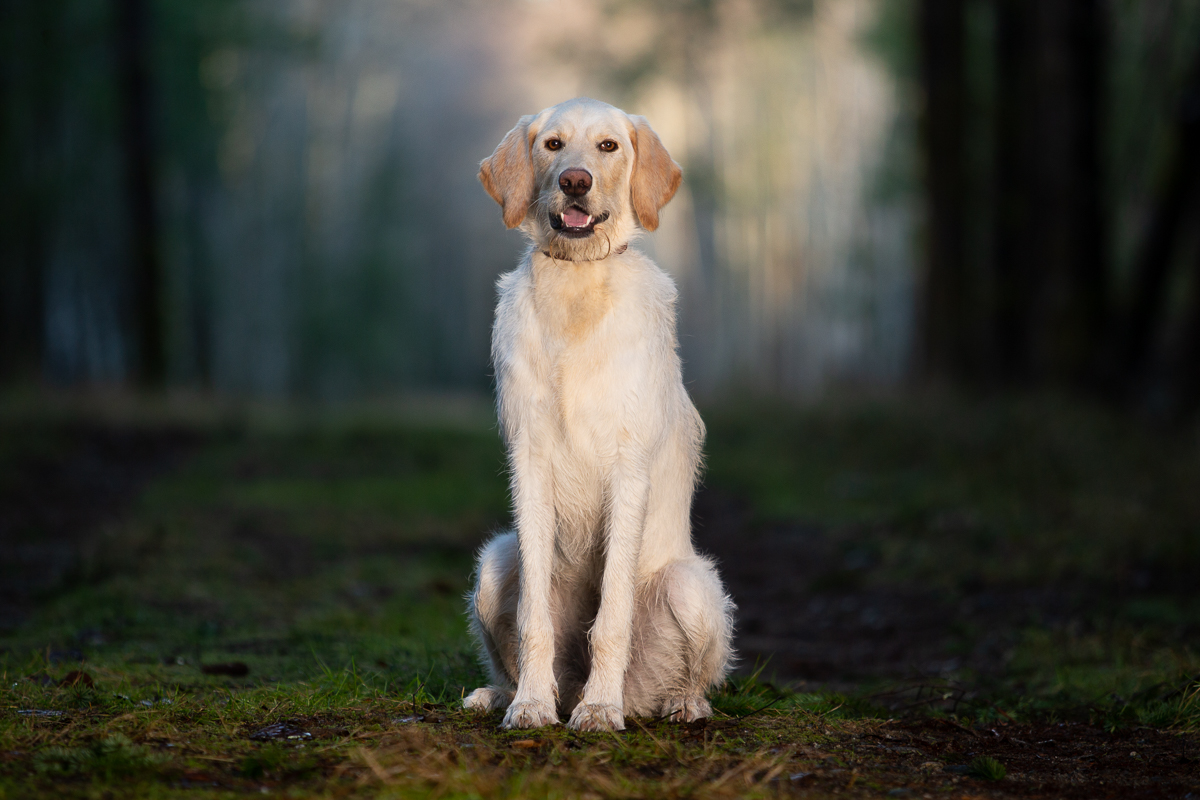 Labradoodle dog sitting in the forest