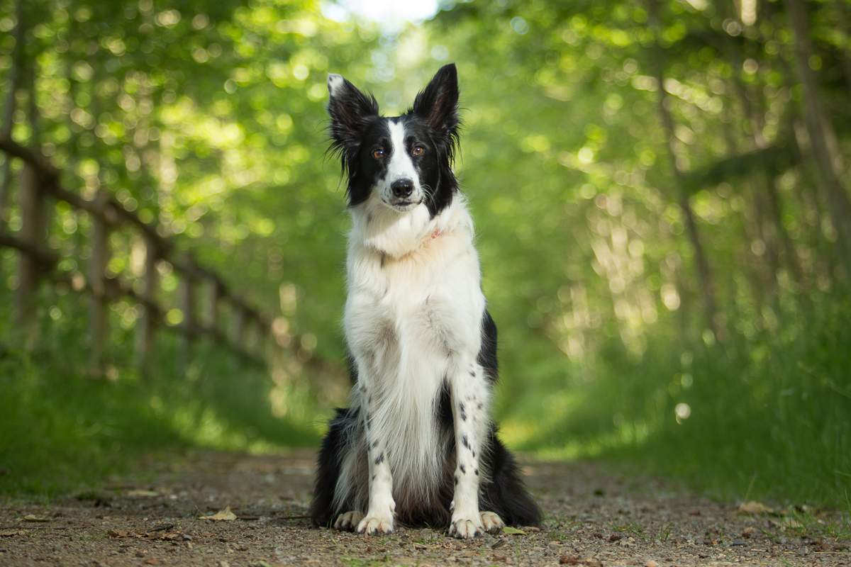 Border collie with big ears sitting on a path in the forest in Courtenay BC