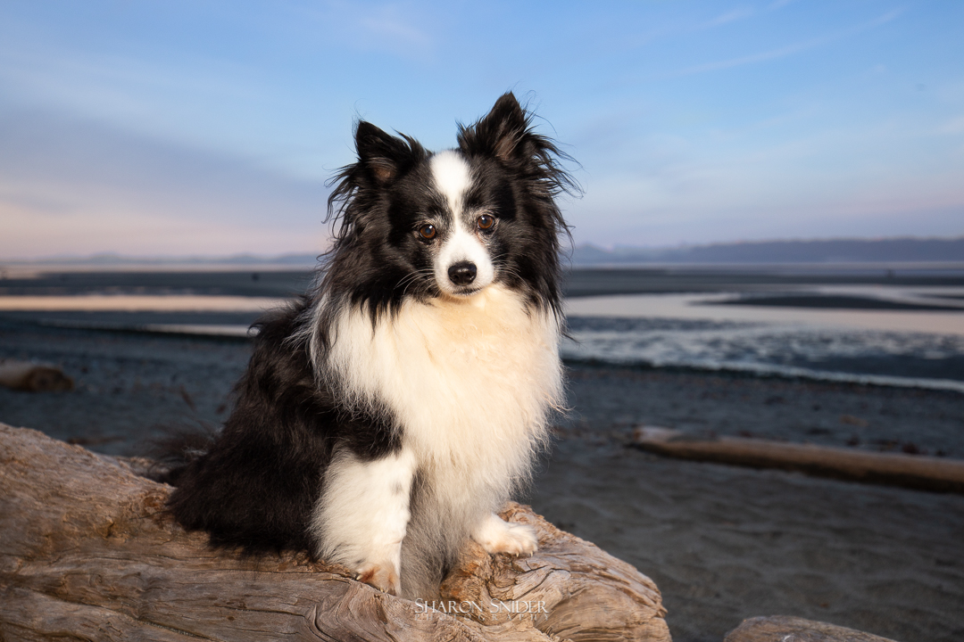 Comox dog at beach