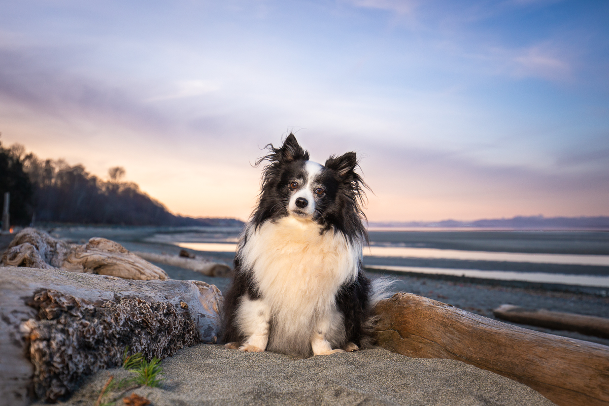 Dog at Kye Bay Beach at sunset, Comox, BC