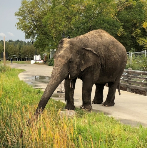 Lucy the elephant at the Edmonton Valley Zoo