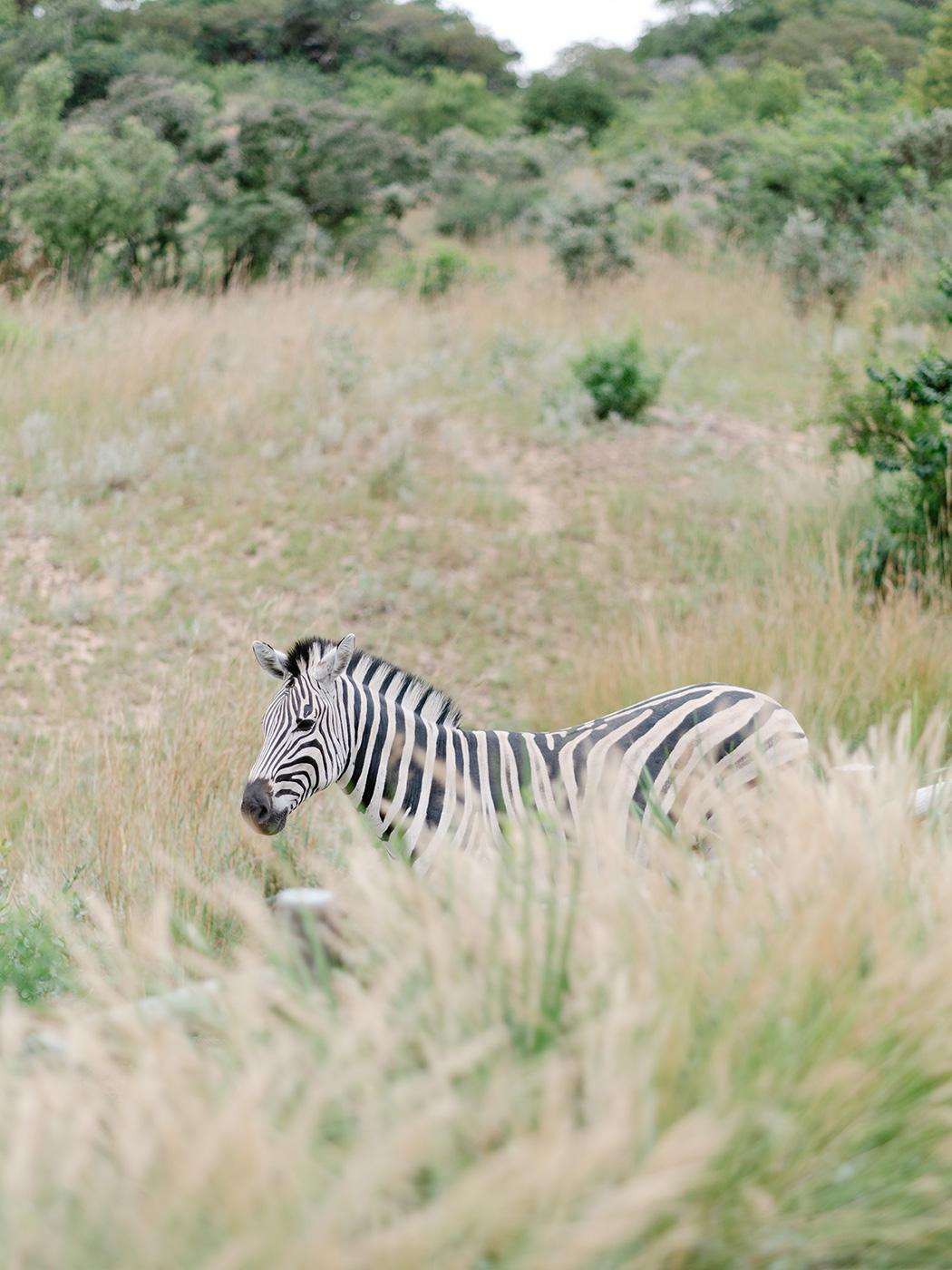 Zebra | Rensche Mari