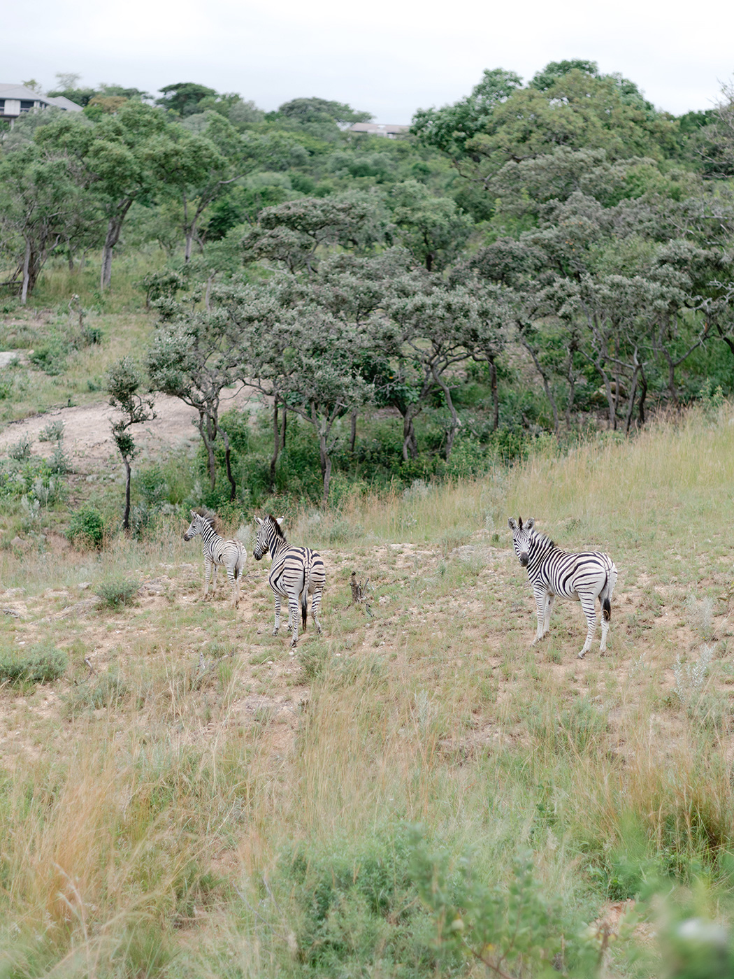 Zebra Safari | Rensche Mari