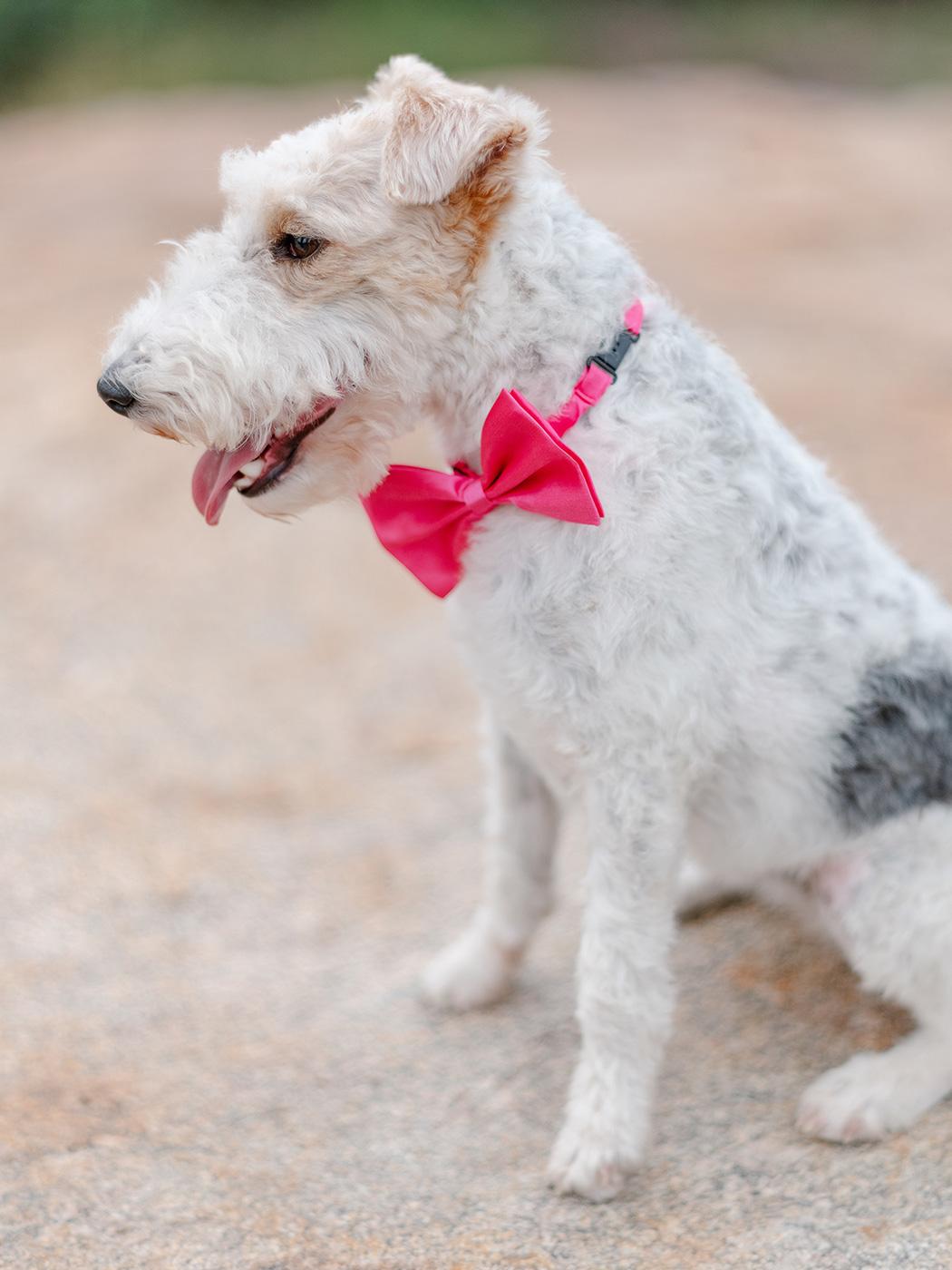 Wirehaired Fox Terrier | Rensche Mari