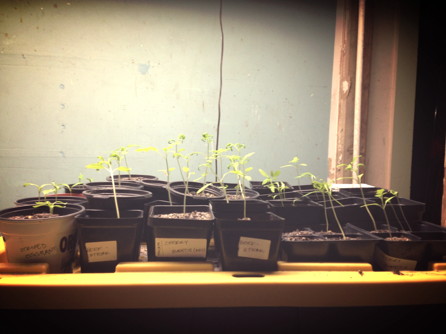 various tomato, pepper, eggplant, and basil starts.