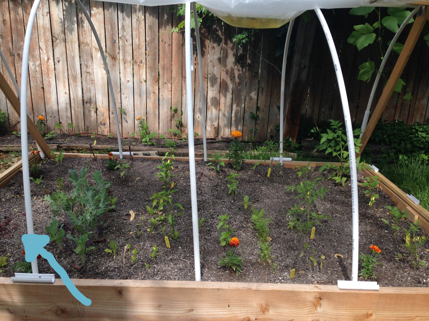 see that sad lettuce on the left that was planted 2 months earlier...