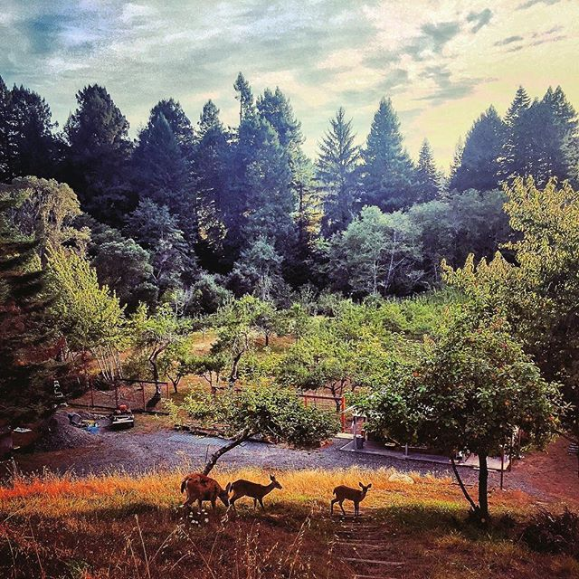 Oh, #deer This is our #deerfence #rationale for #wrigleysapples #appleorchard under the #redwood #forest in #humboldt county #california #explorehumboldt #ciders #hardcider #craftcider #californiacider #estatecider #appletrees not AppleStore