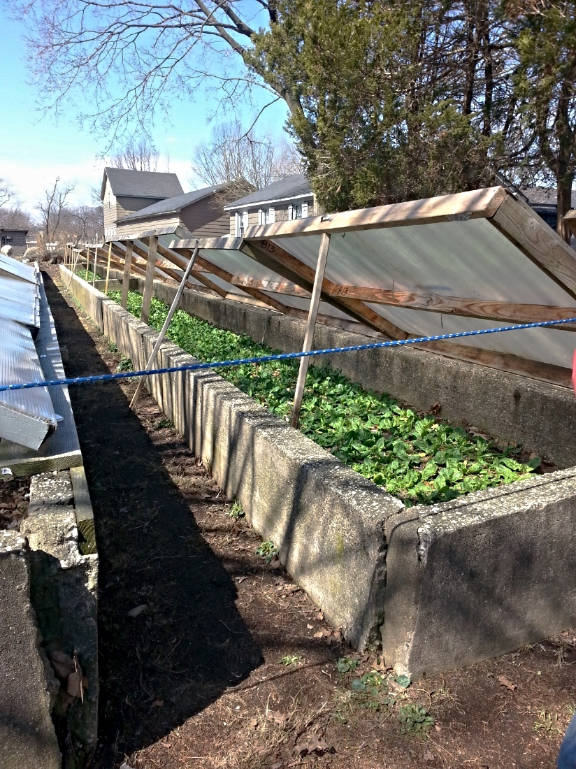 1930's cold frames, south-facing & on a slant for maximum sun exposure, growing spinach planted in November