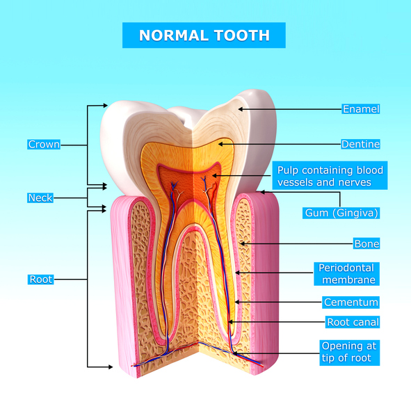 Anatomy of a tooth.jpg