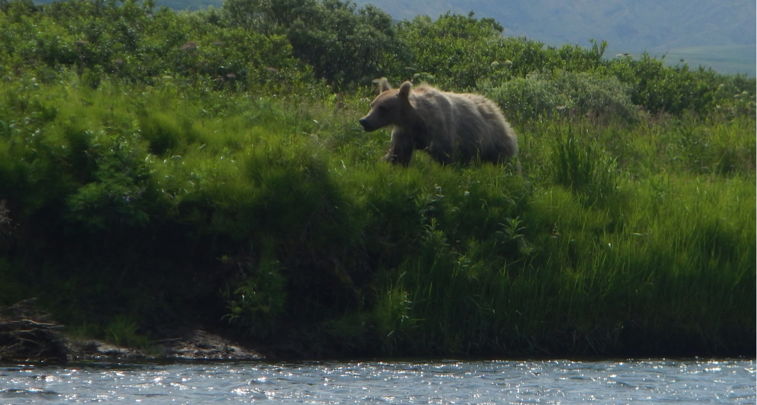 The first of many encounters with the grizzlies, the channel was only about 30 feet across at this point.