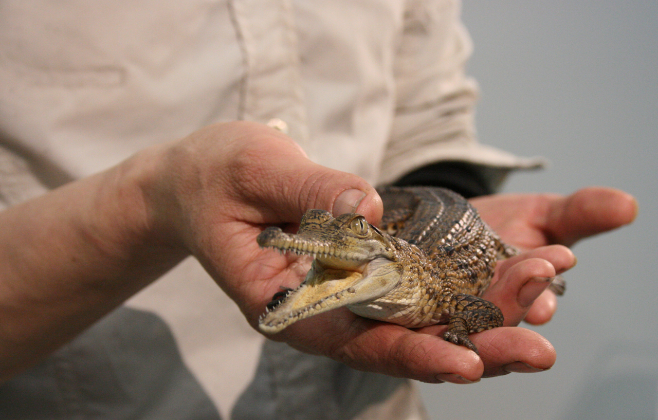 A licence is required to keep crocodiles