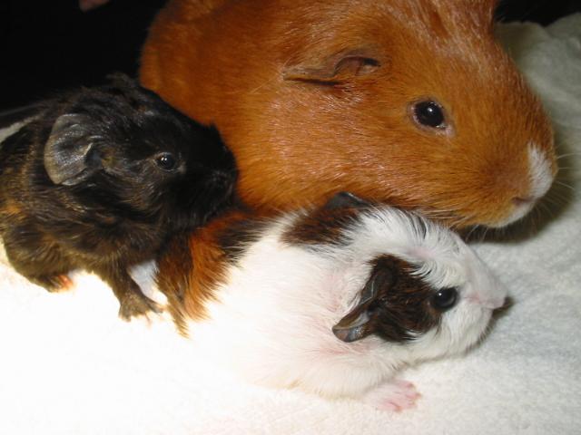 Guinea Pig Caesarean