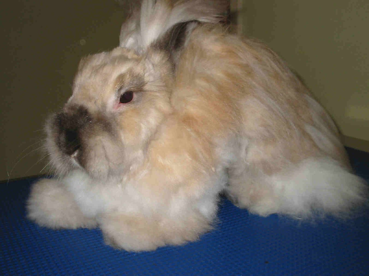 Long haired rabbits like this Cashmere require daily grooming