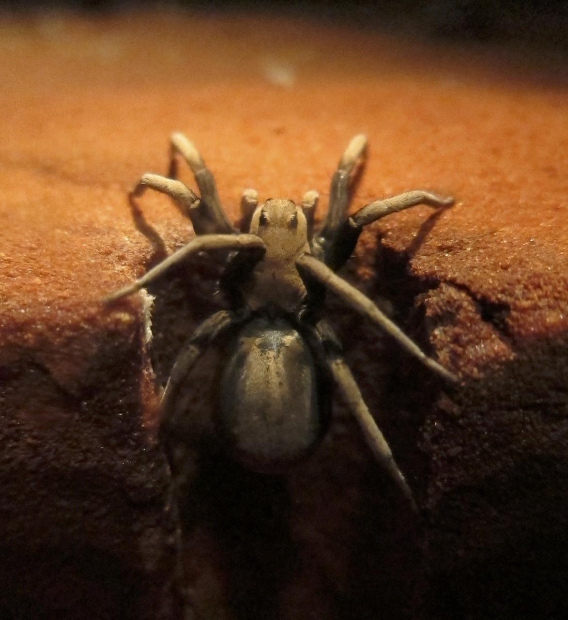 Desert Wolf Spider