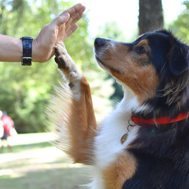 👋🏻crush the day, and enjoy the weekend! . . . #tgif #dogsofinstagram #highfive #dogsofinsta #englishshepherd #camping #pnw #pnwonderdogs #oregondogs #dogsoforegon