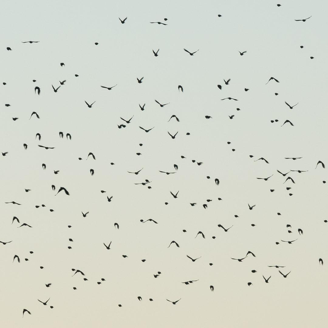 Snow Geese, Bosque del Apache, New Mexico