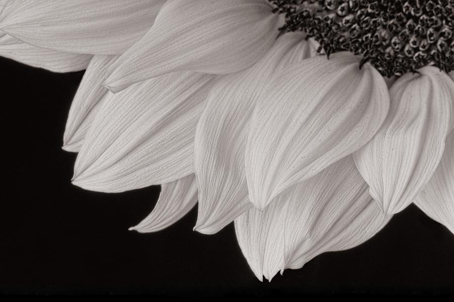 Cathy Pemberton. Sunflower, 2011. inkjet print, 14 x 21 in. Edition 4:50. Framed.