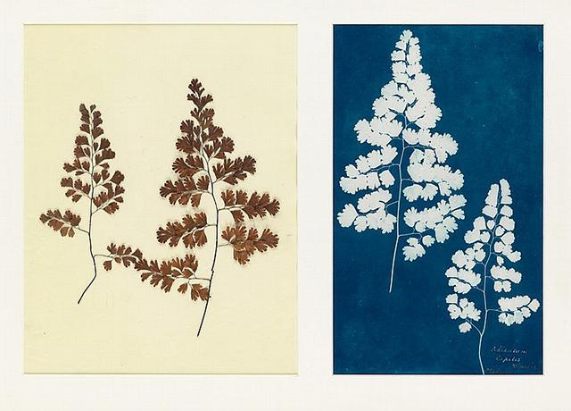 "(Circle of Anna Atkins) , ""Adiantum Capillis-Veneris, Medeira"" from the ""Hatton Fern Album,"" c. 1850, cyanotype,  Swann Auction Galleries  (October 25, 2016)"