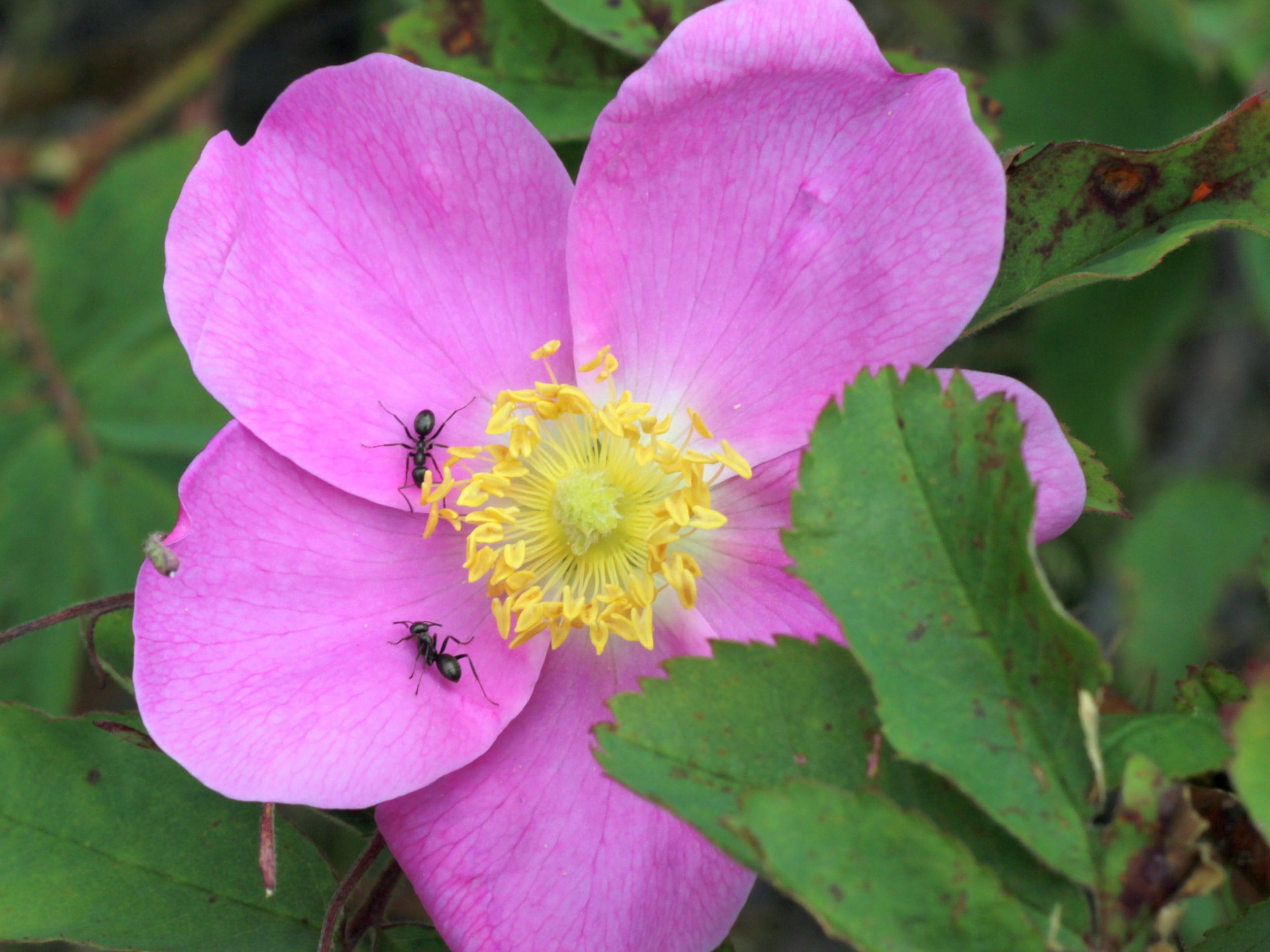 Flower with Ants