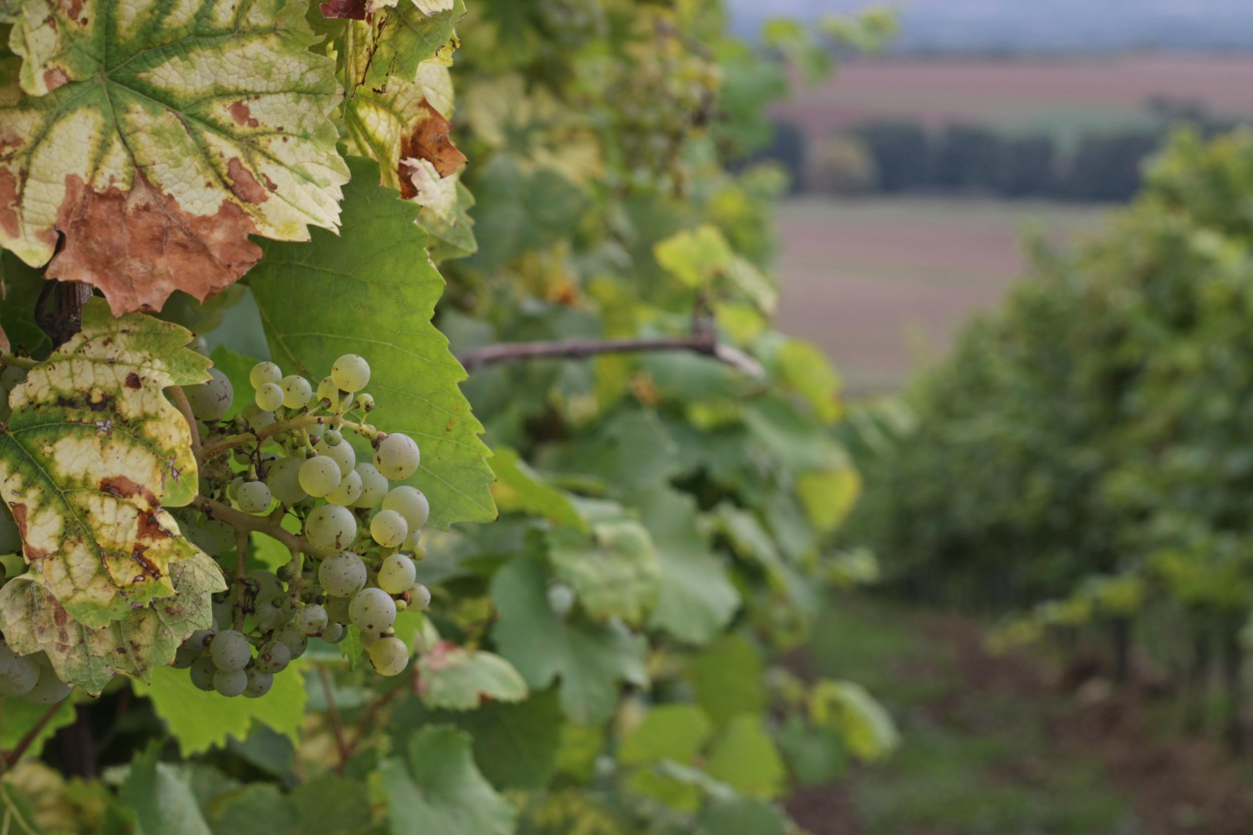 Vineyard- Eltville, Germany - September 2014