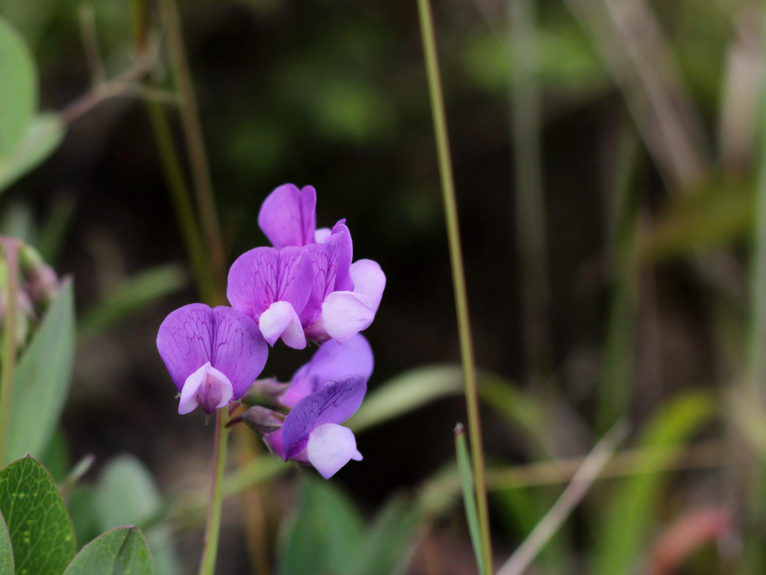 Flower - Isle Royale, MI - July 2014