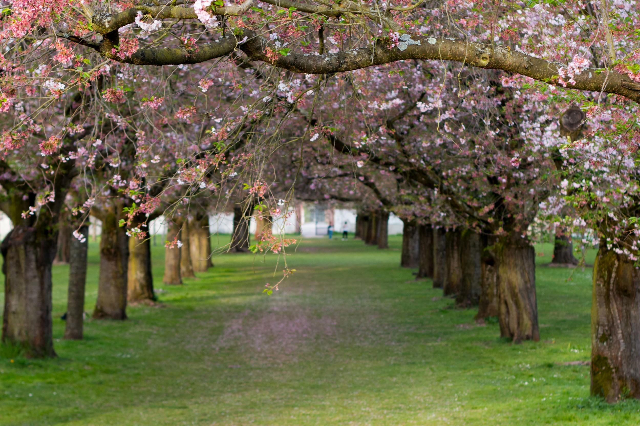 cherry blossoms in bloomat the Schwetzingen Gardens