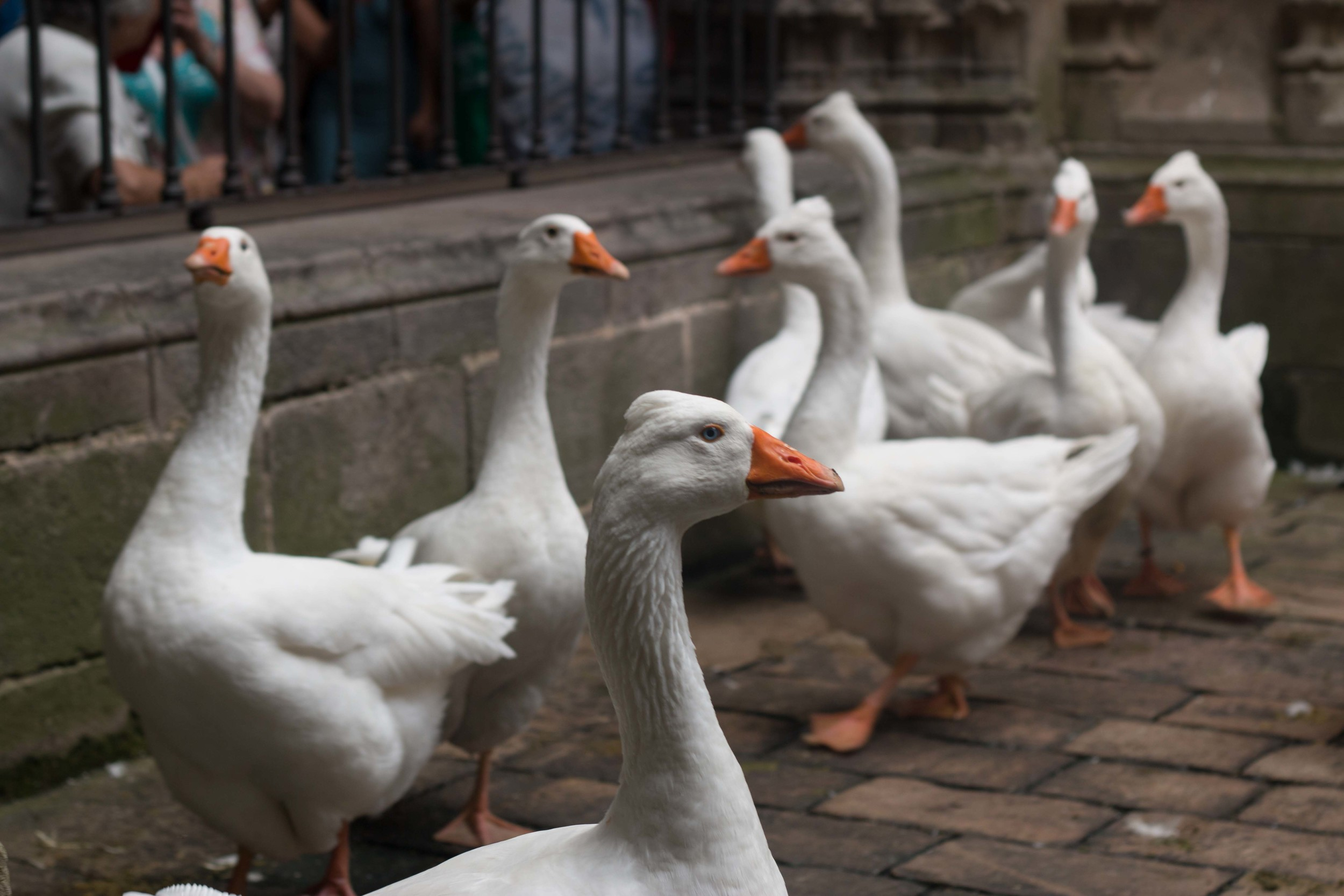 8 of the 13 Geese kept in the Cloister courtyard to commemorate Saint Eulalia's sacrifice