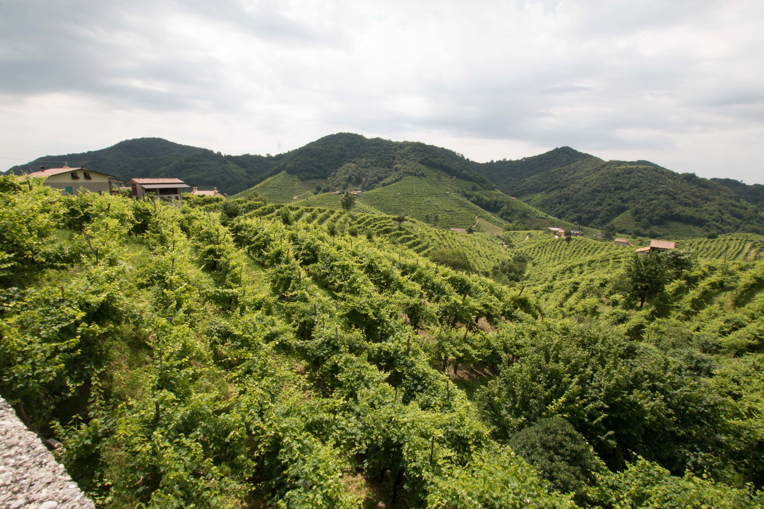 The vineyards terraced tightly onto othe gently rolling hills along the Prosecco Road