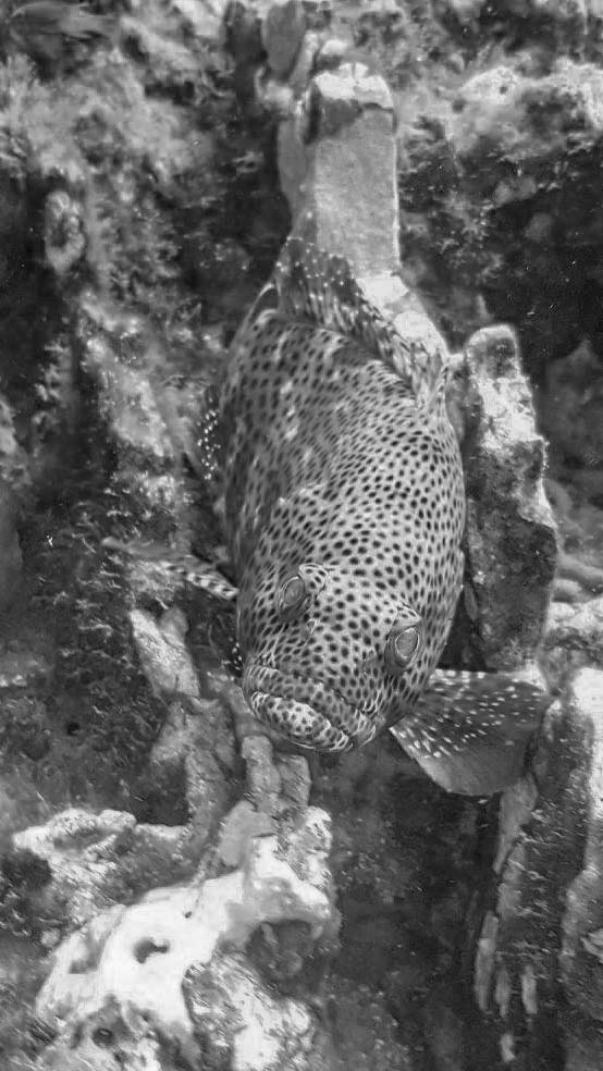 greasy grouper. photo courtesy of  Dustin Ainsworth  of  SouthEast Texas Scuba