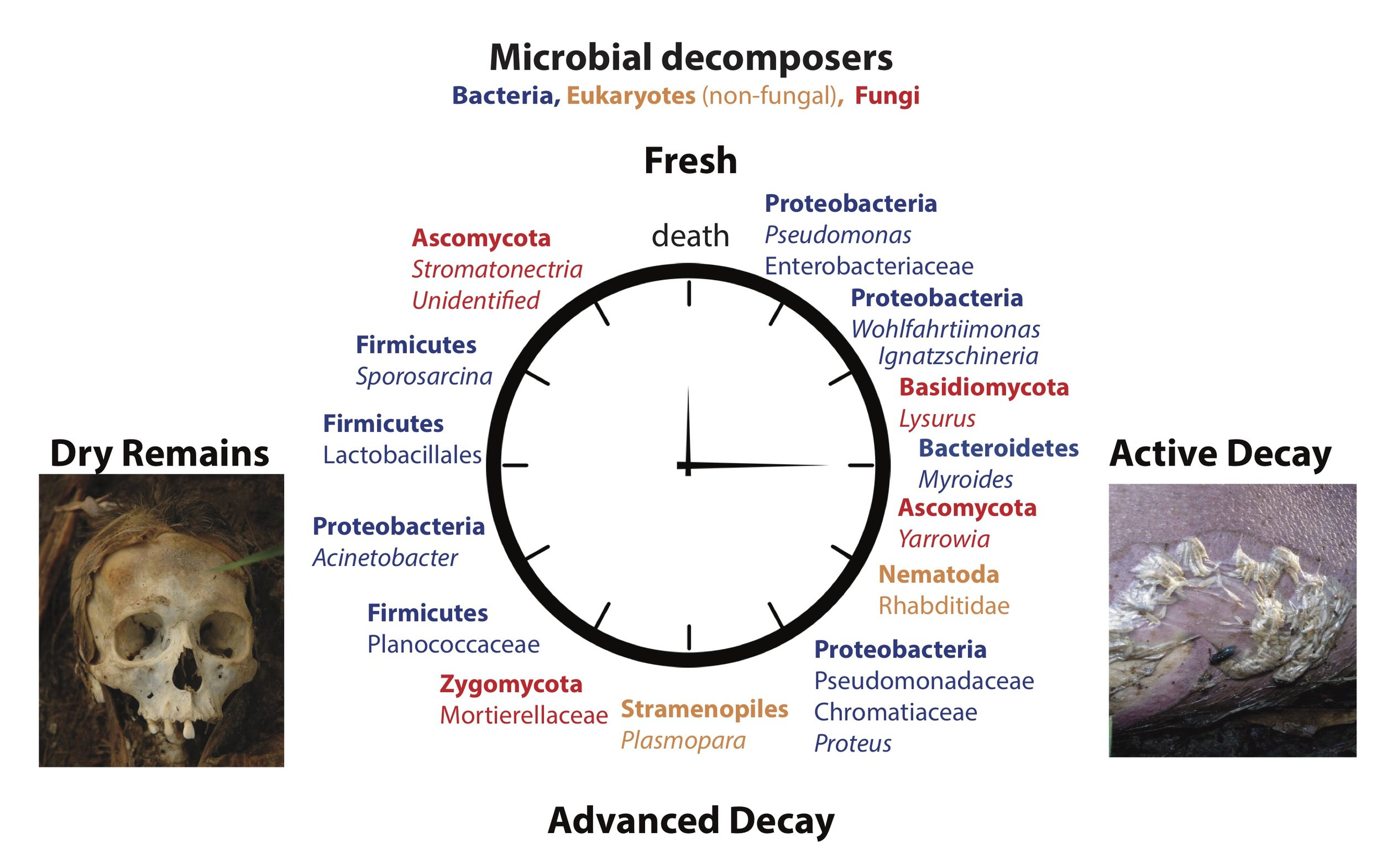 Microbial Clock of death - We are developing a new forensic tool that uses bacteria, fungi and other microorganisms to estimate how long a person has been dead.