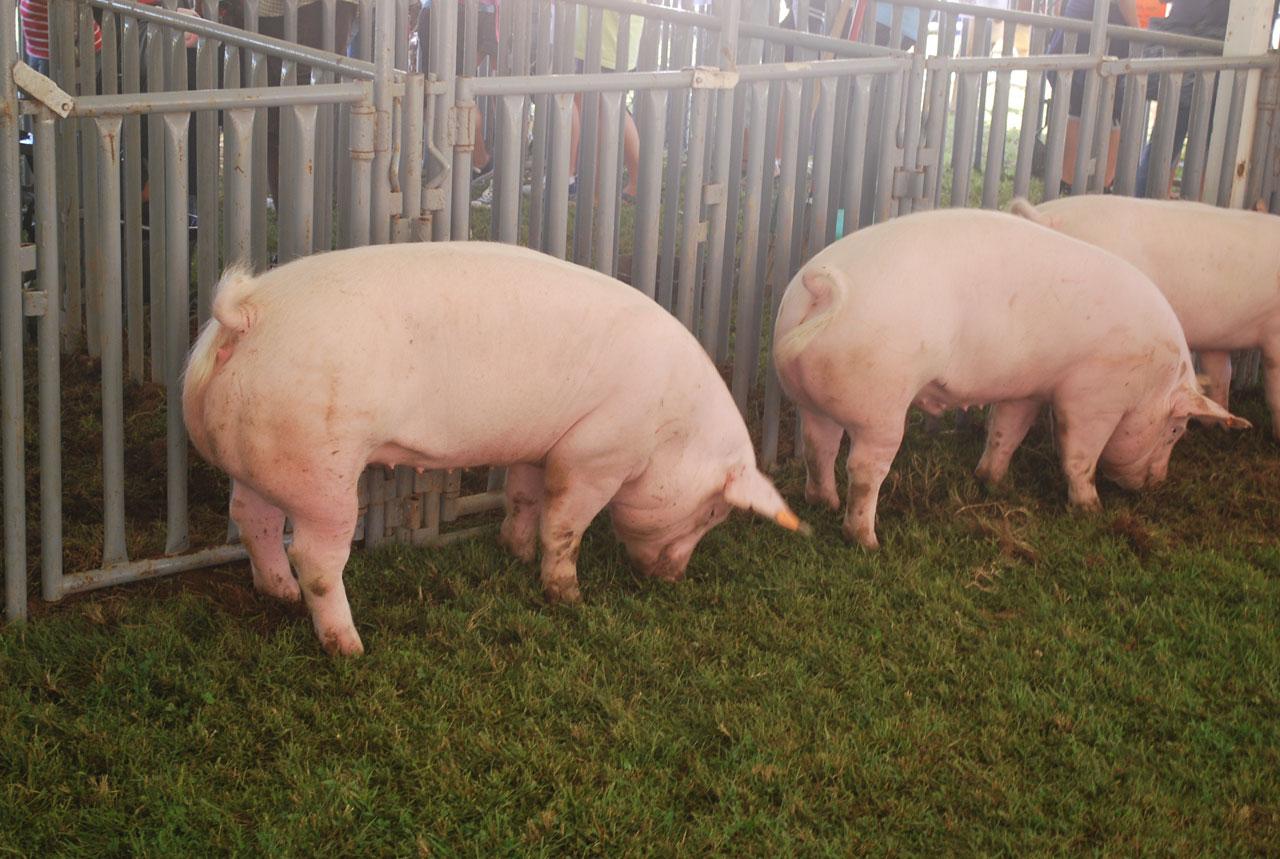 pigs .jpg