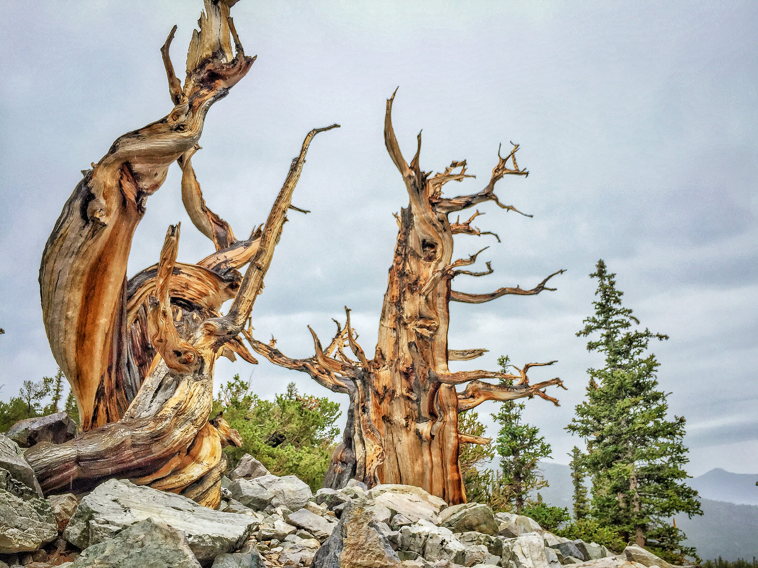 Bristlecone forest, Great Basin National Park, Nevada.